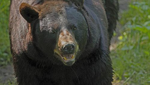 500x_bear